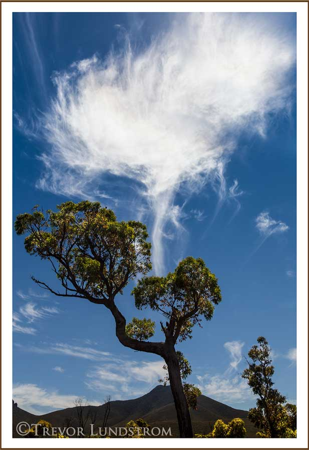 With the cloud overhead this Jarrah tree looks to be breathing life into the atmosphere